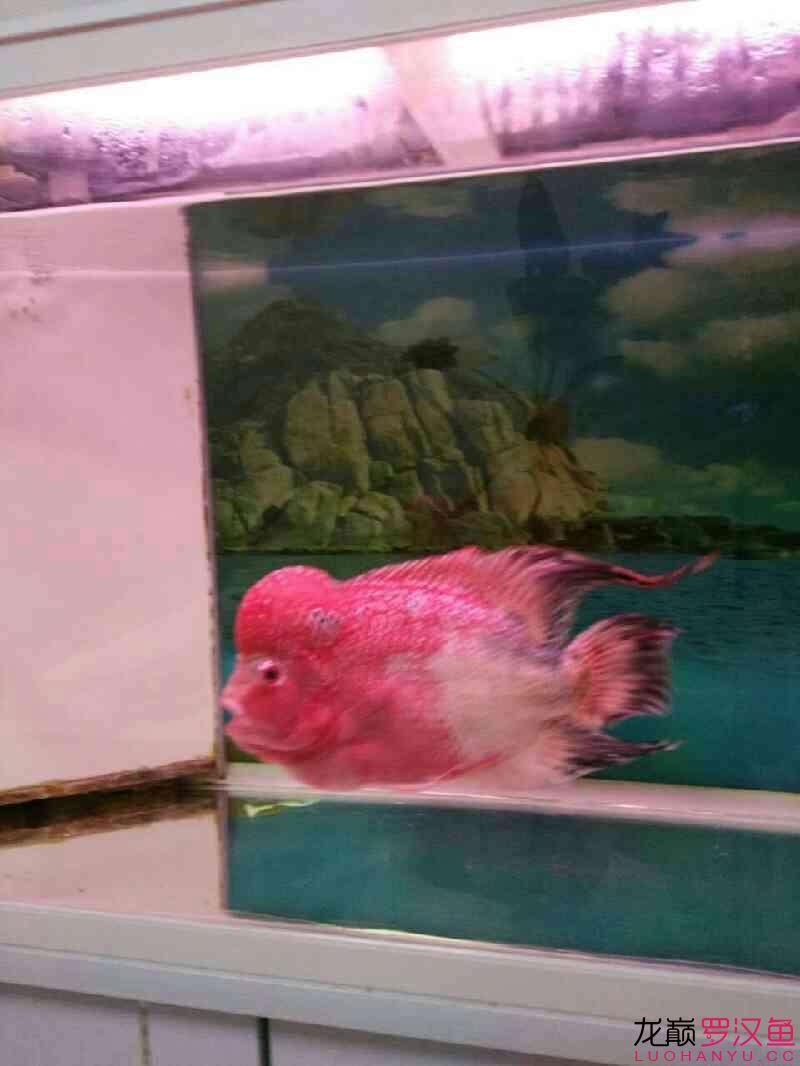 再晒下西安黑云(大吉大利)鱼批发 西安龙鱼论坛 西安博特第3张