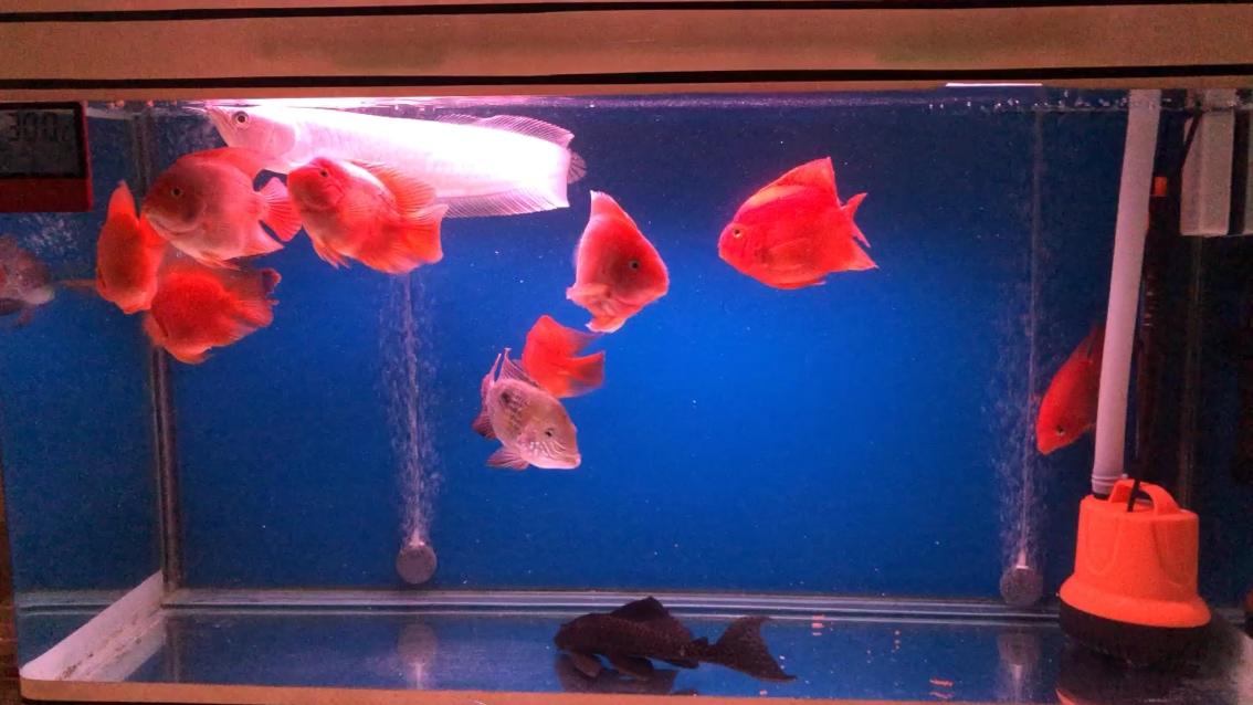 休闲时间鹦鹉鱼圈 西安龙鱼论坛 西安博特第1张