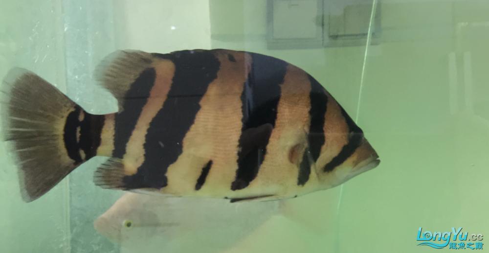 我这个虎是什么品种