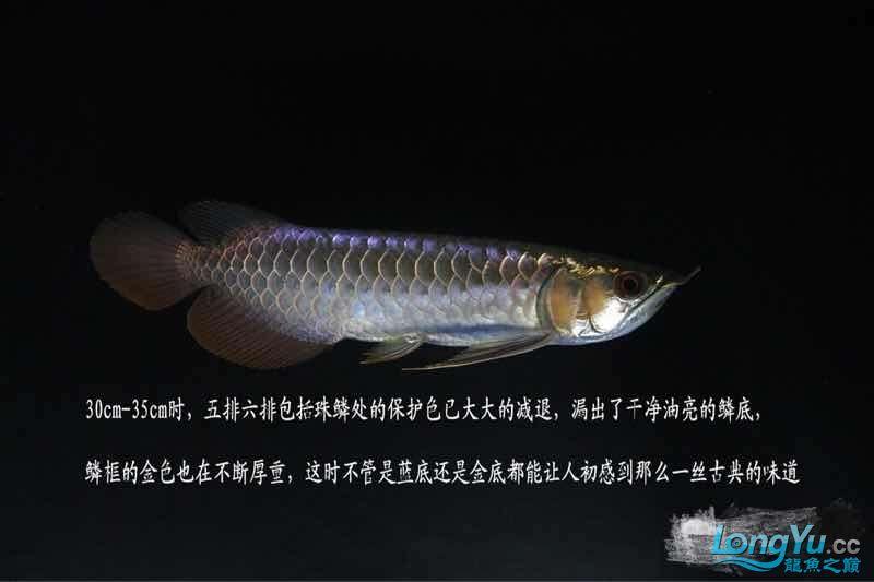 小白解说古典龙鱼 西安龙鱼论坛 西安博特第2张