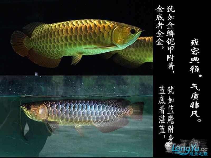 小白解说古典龙鱼 西安龙鱼论坛 西安博特第3张