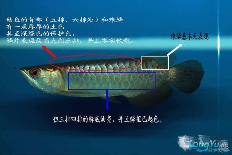 小白解说古典龙鱼 西安龙鱼论坛 西安博特第1张