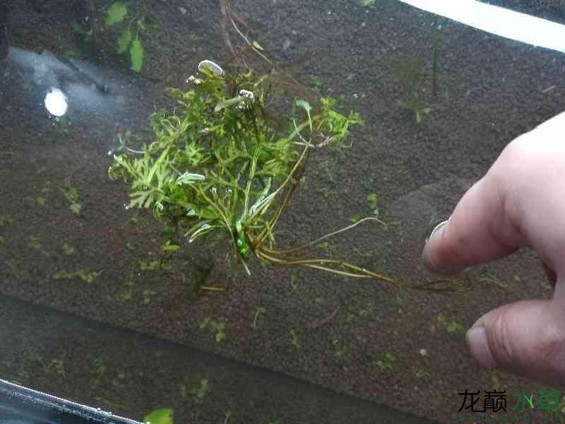 这草怎么样? 西安观赏鱼信息 西安博特第1张