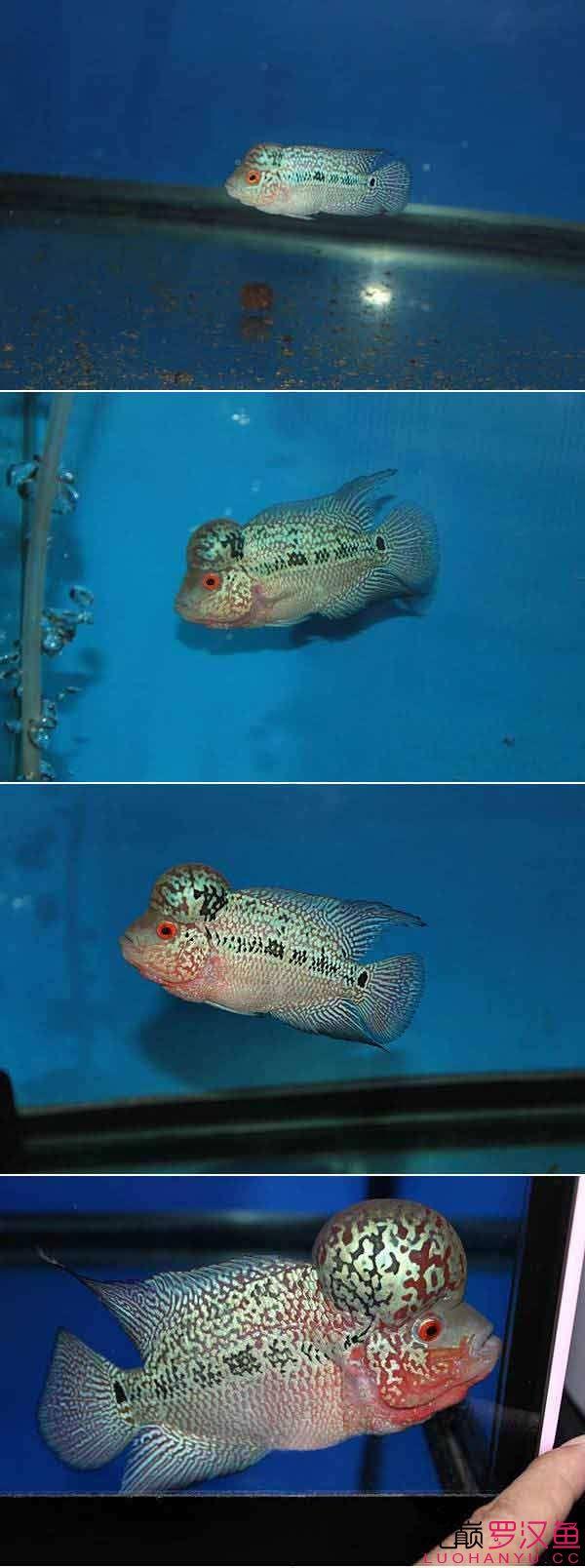 西安哪个水族店卖豹纹夫四个阶段对比发展一级棒 西安龙鱼论坛