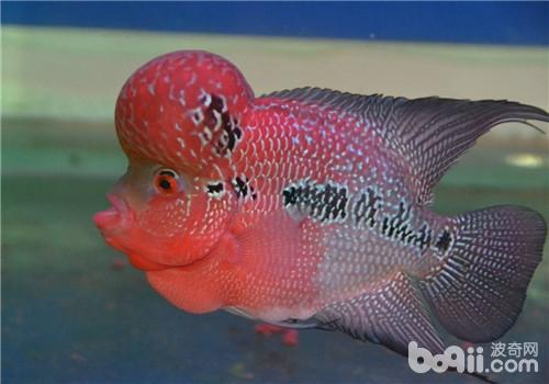 一米六鱼缸制西安观赏鱼批发作 西安观赏鱼信息 西安博特第5张