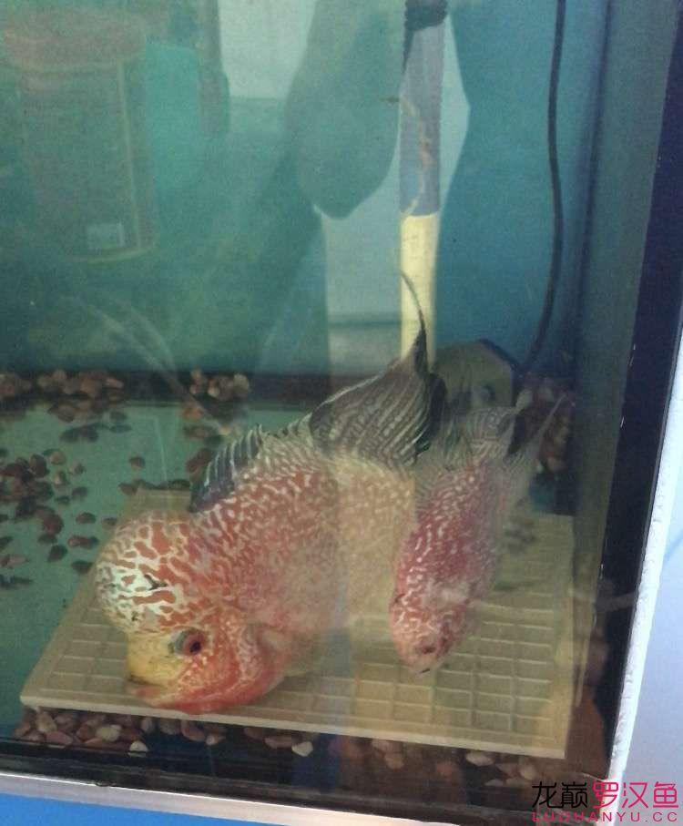 西安银版鱼退沙种组合 西安观赏鱼信息 西安博特第1张