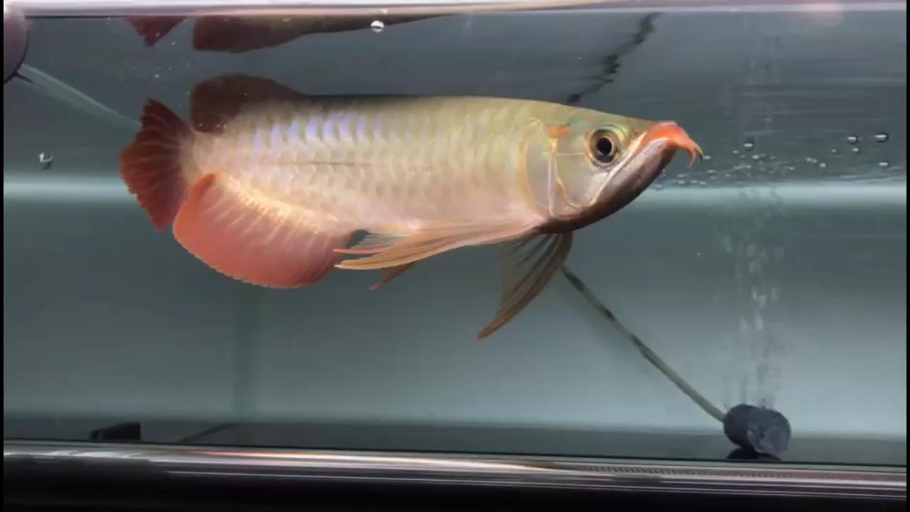 也不知道怎么样 晒一下西安银龙鱼苗怎么养 西安观赏鱼信息 西安博特第1张