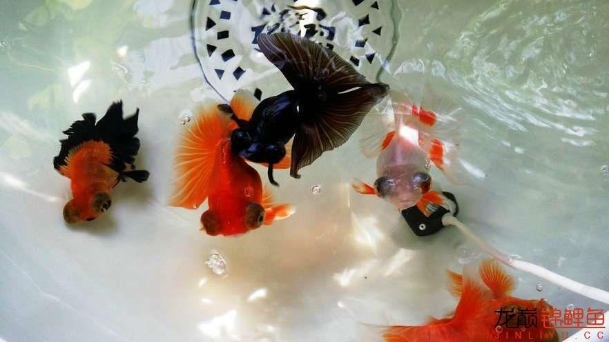 晒晒家里的宝贝儿欢欢喜喜迎猴年十五 西安观赏鱼信息 西安博特第5张