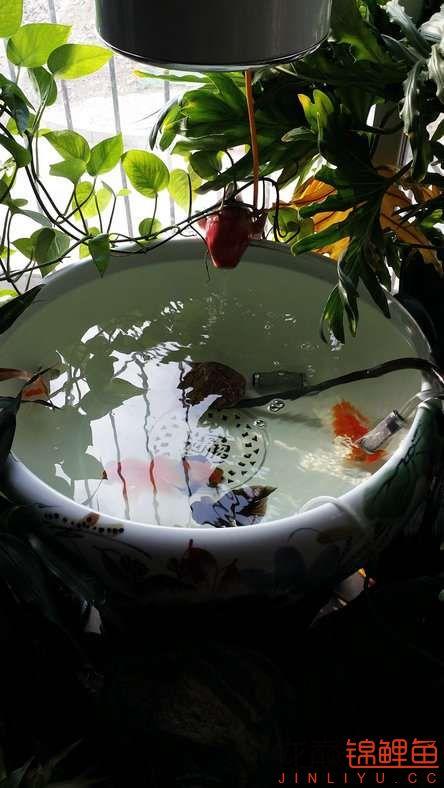 晒晒家里的宝贝儿欢欢喜喜迎猴年十五 西安观赏鱼信息 西安博特第3张