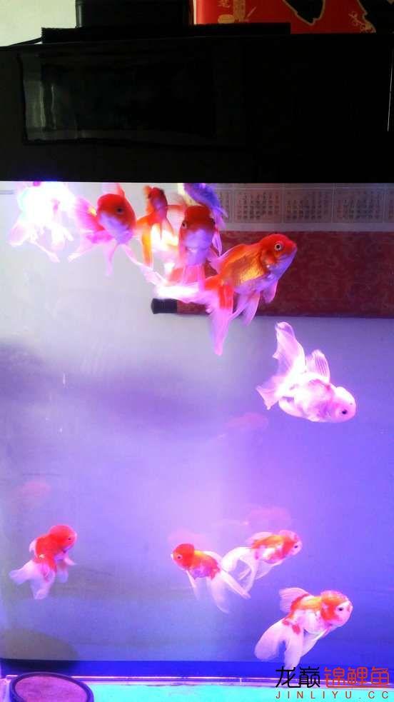 晒晒家里的宝贝儿欢欢喜喜迎猴年十五 西安观赏鱼信息 西安博特第10张