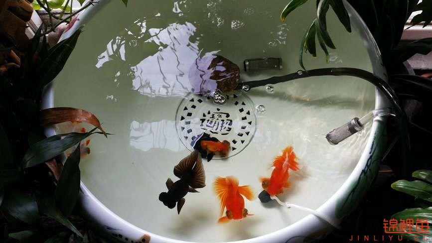 晒晒家里的宝贝儿欢欢喜喜迎猴年十五 西安观赏鱼信息 西安博特第7张