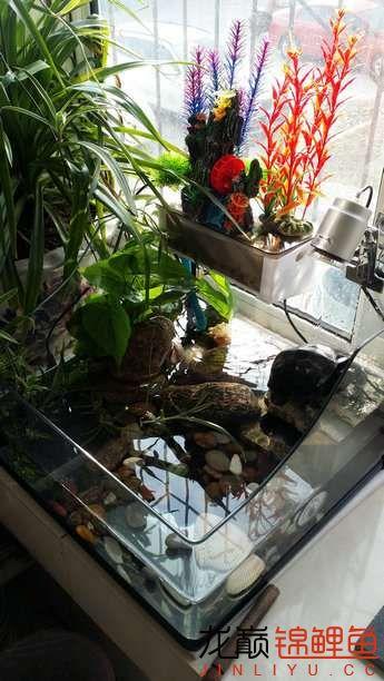 晒晒家里的宝贝儿欢欢喜喜迎猴年十五 西安观赏鱼信息 西安博特第23张