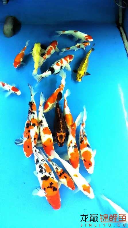 晒晒家里的宝贝儿欢欢喜喜迎猴年十五 西安观赏鱼信息 西安博特第40张