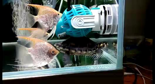 西安白鲳鱼价格这是在干嘛?两栖爬宠 西安观赏鱼信息
