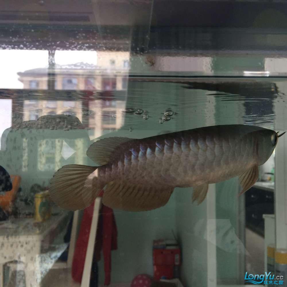 西安哪个水族店卖直纹飞凤一个星期前请的食欲一般 西安龙鱼论坛 西安博特第1张