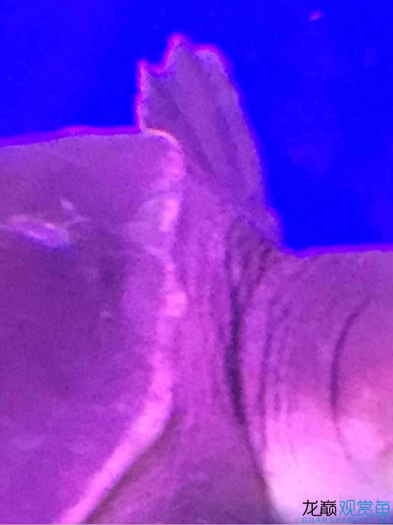 猪鼻尾巴黄色的啥东西大【西安花鸟鱼虫市场地址】神求救 西安龙鱼论坛 西安博特第1张