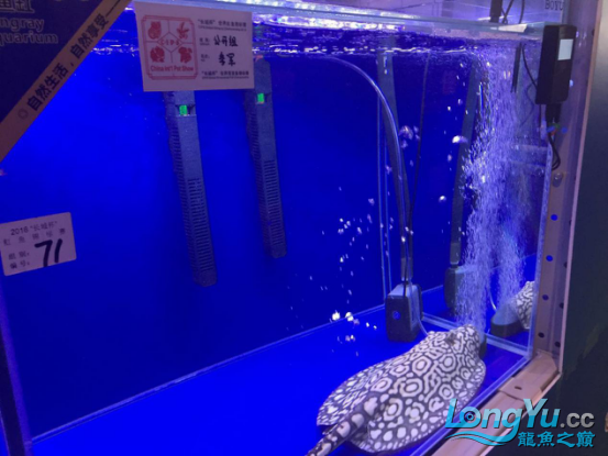 西安福满钻观赏鱼展会现场直击魟鱼竞颁奖现场直播在这里 西安观赏鱼信息 西安博特第14张