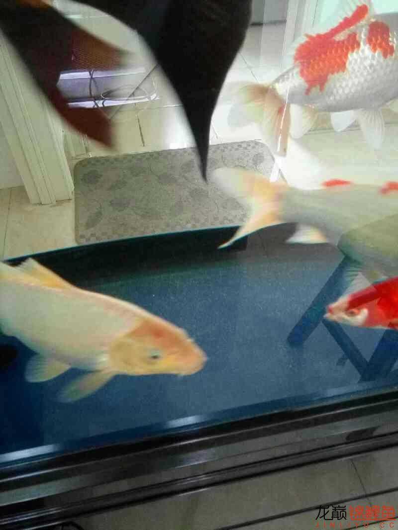 我家锦鲤掉色了。 西安观赏鱼信息 西安博特第1张