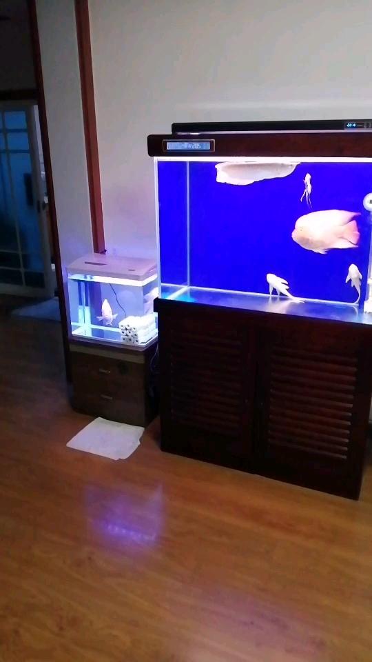 【西安沉木批发】战败者鹦鹉西安玫瑰银板鱼怎么养鱼圈 西安观赏鱼信息