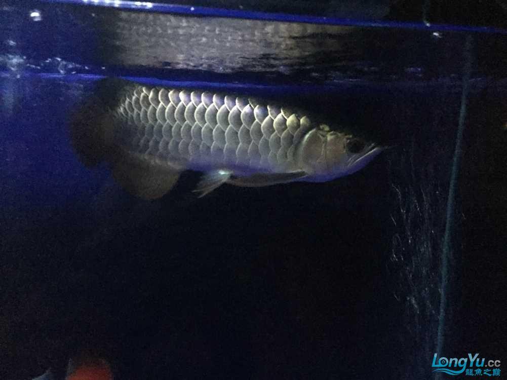 西安黑云(大吉大利)鱼批这品种怎么样? 西安观赏鱼信息 西安博特第1张