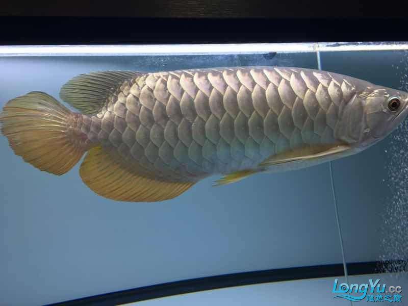 西安金龙一年了留念 西安龙鱼论坛 西安博特第2张