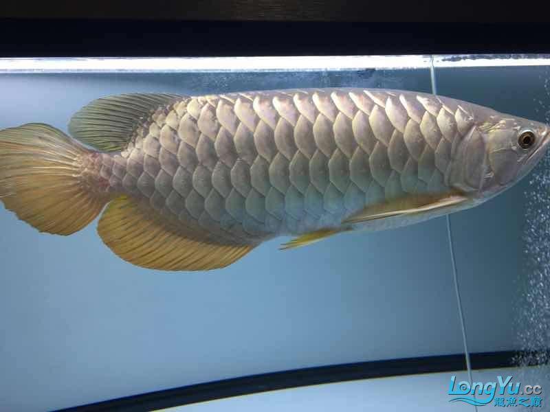 西安金龙一年了留念 西安龙鱼论坛 西安博特第3张