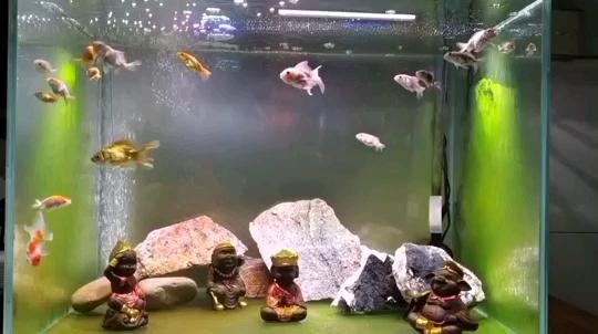这一西安白子黑帝王魟鱼刻没有想法 西安观赏鱼信息 西安博特第1张
