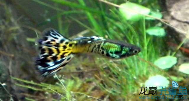 西安粗线银板鱼价格鱼啊鱼美啊美--