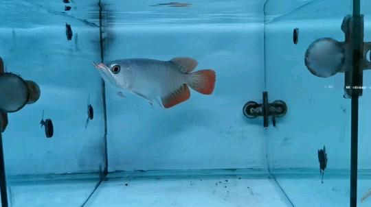 西安魟鱼批发有点眼【西安皇冠魟鱼】缘商情圈 西安观赏鱼信息