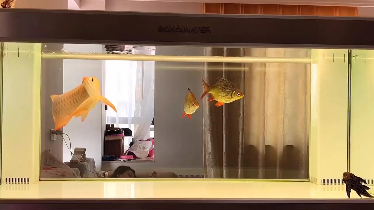 外面太热偷懒看会鱼 西安观赏鱼信息 西安博特第1张