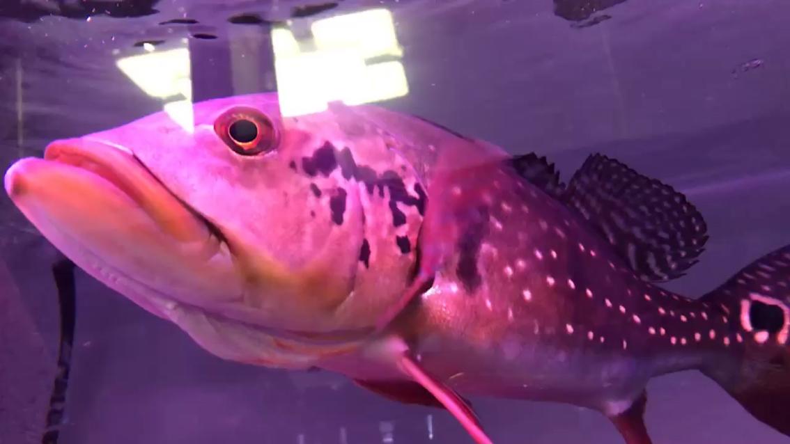 西安白子魟鱼多少钱野生的魅力猛鱼 西安观赏鱼信息 西安博特第1张