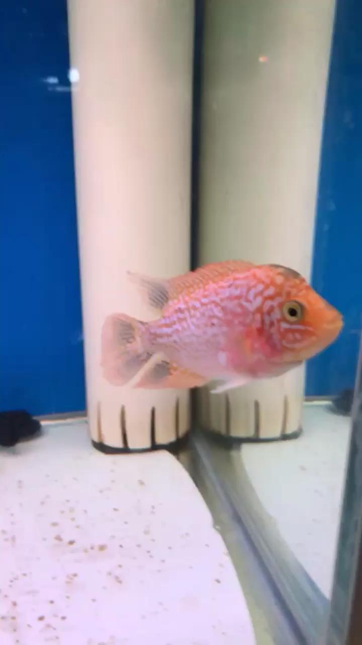 西安哪个水族店卖红眼白子退沙即将完毕 西安观赏鱼信息 西安博特第1张