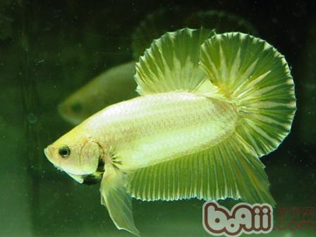 西安哪个水族店卖红眼白子退沙即将完毕 西安观赏鱼信息 西安博特第2张