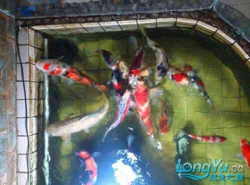 西安道花鸟鱼虫市场养鱼历程 西安龙鱼论坛 西安博特第2张