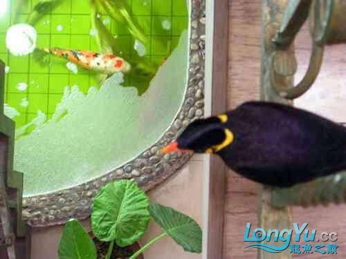 西安道花鸟鱼虫市场养鱼历程 西安龙鱼论坛 西安博特第4张