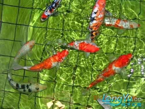 西安道花鸟鱼虫市场养鱼历程 西安龙鱼论坛 西安博特第3张