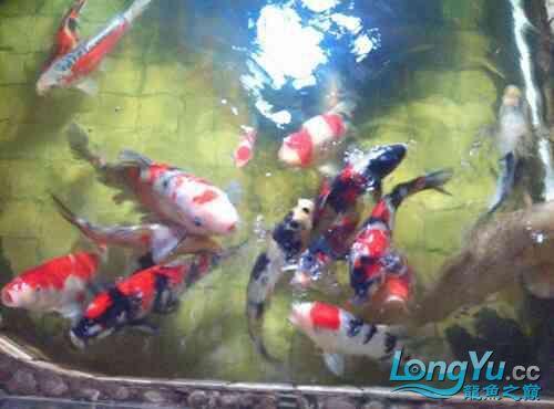 西安道花鸟鱼虫市场养鱼历程 西安龙鱼论坛 西安博特第7张