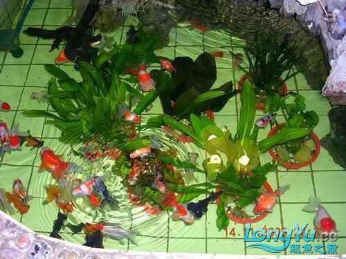 西安道花鸟鱼虫市场养鱼历程 西安龙鱼论坛 西安博特第6张