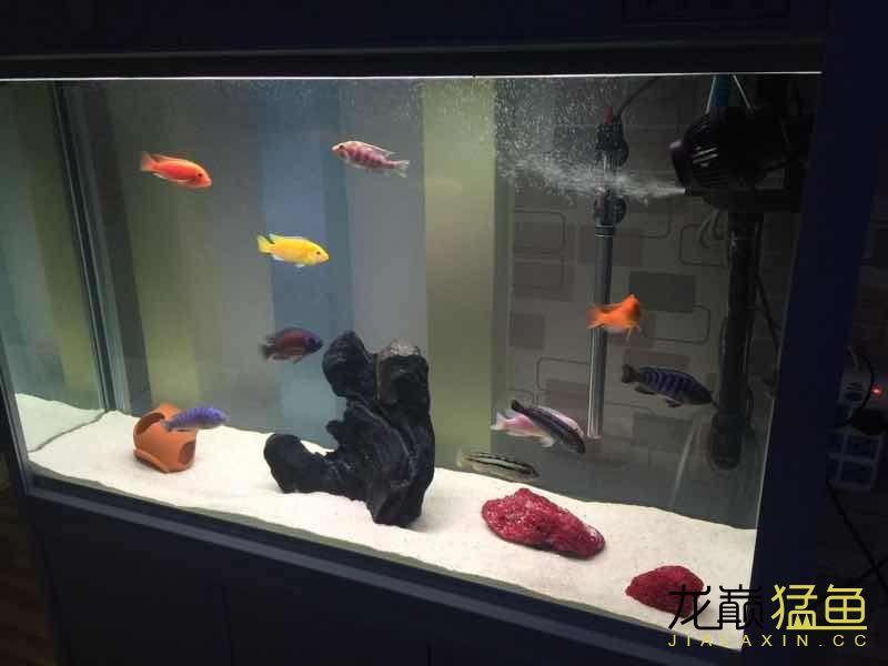 我的红腹水虎 西安龙鱼论坛 西安博特第2张