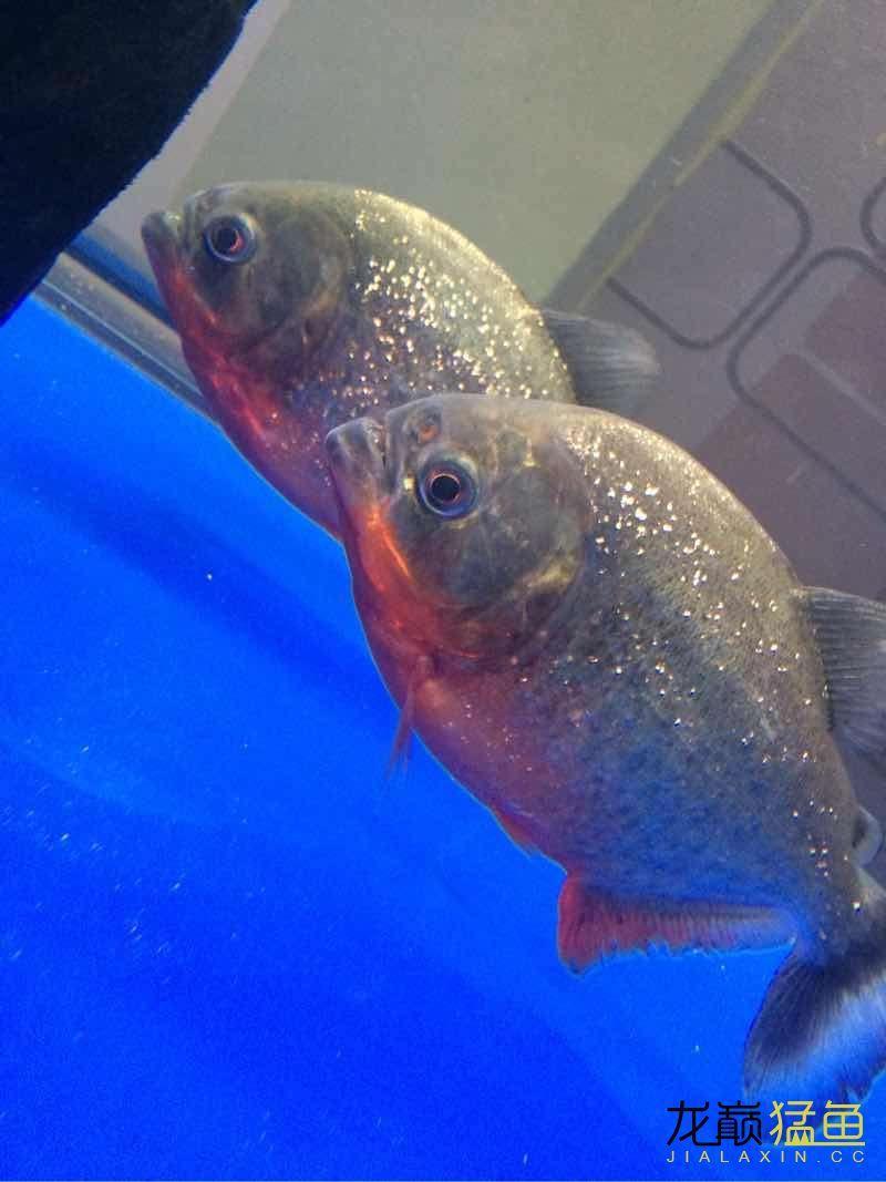 我的红腹水虎 西安龙鱼论坛 西安博特第4张