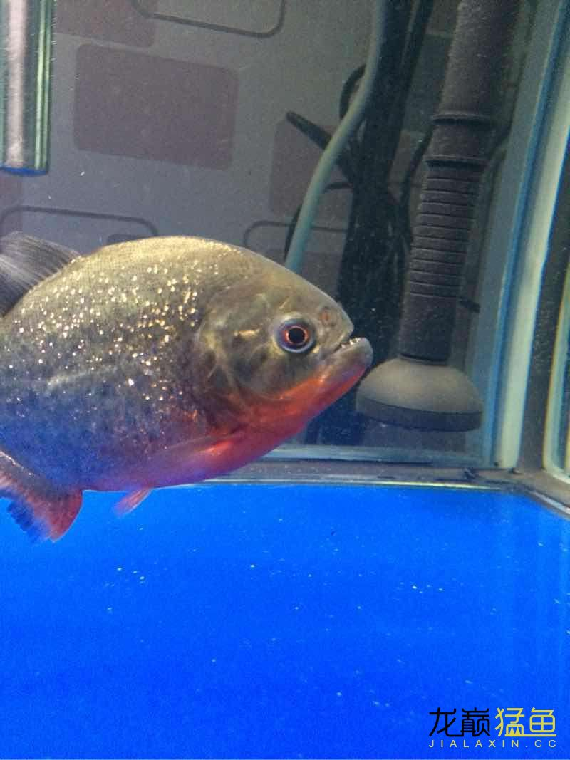 我的红腹水虎 西安龙鱼论坛 西安博特第5张