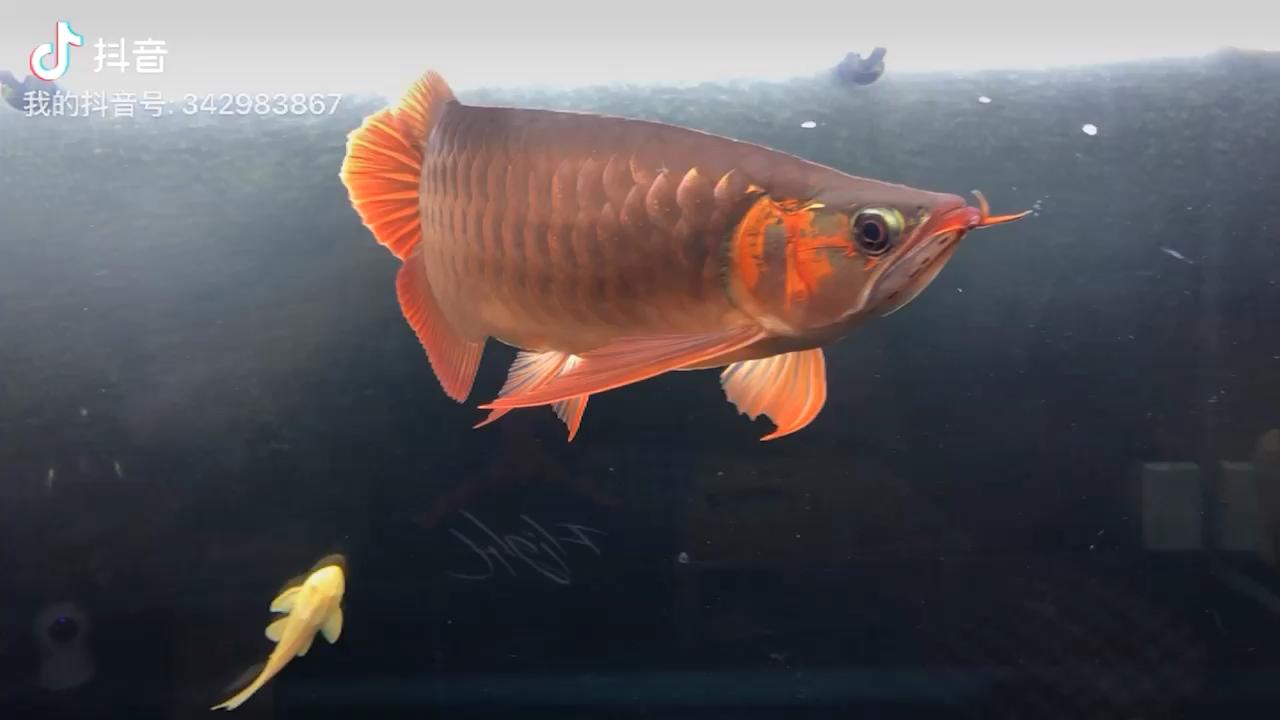 又红了一些 西安龙鱼论坛 西安博特第1张