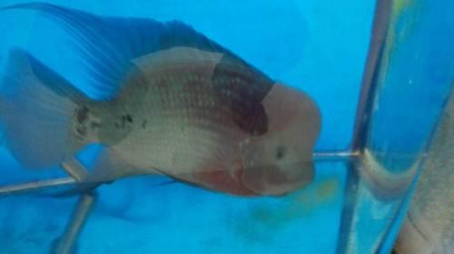 又红了一些 西安龙鱼论坛 西安博特第2张