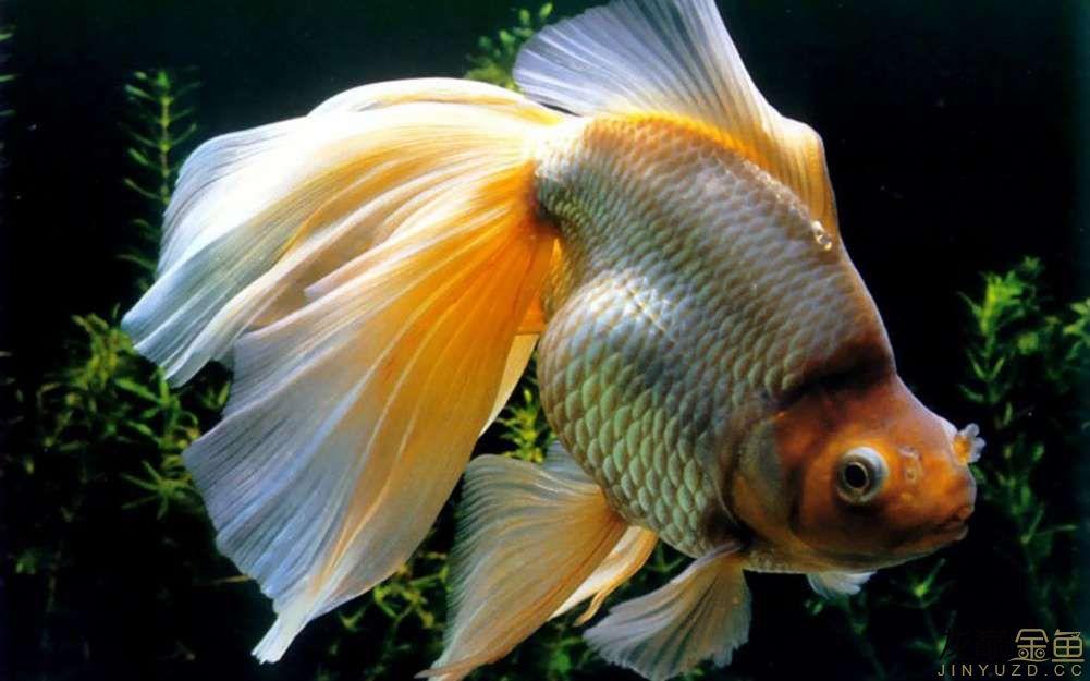 这是一条什么金鱼啊?
