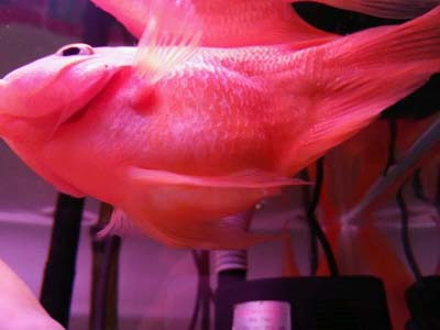 整缸鱼好像都状态不好可能病了 西安龙鱼论坛 西安博特第8张