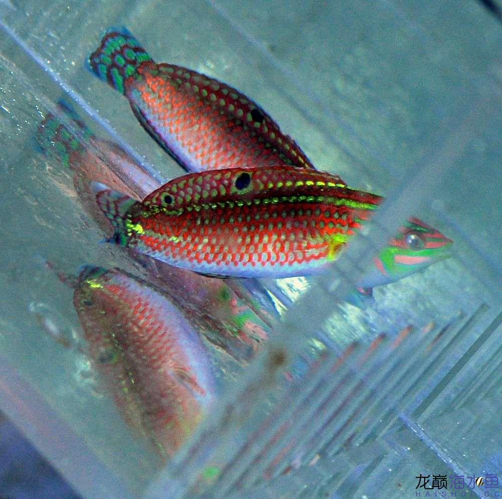 罗汉鱼常见病治疗视频这是圣诞龙吗? 西安观赏鱼信息 西安博特第2张
