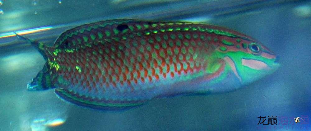 罗汉鱼常见病治疗视频这是圣诞龙吗? 西安观赏鱼信息 西安博特第1张