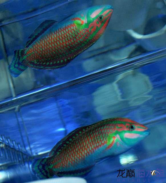 罗汉鱼常见病治疗视频这是圣诞龙吗? 西安观赏鱼信息 西安博特第4张