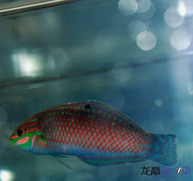 罗汉鱼常见病治疗视频这是圣诞龙吗? 西安观赏鱼信息 西安博特第3张