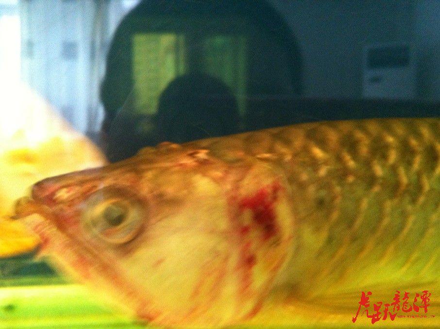 西安红财神鹦鹉鱼又开虾缸了 西安龙鱼论坛 西安博特第2张